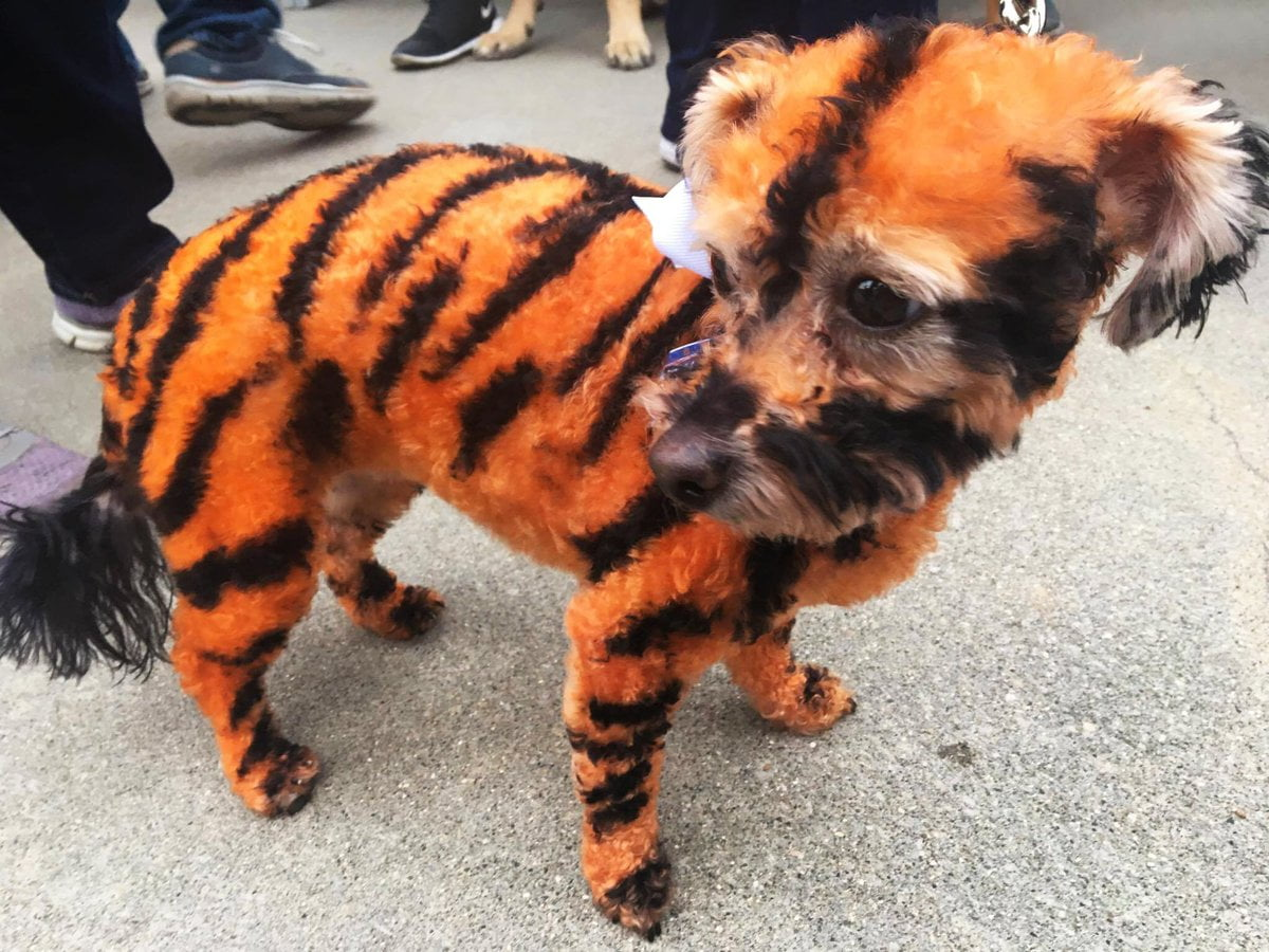 LOOK: Poor dog all decked out in Detroit Tigers colors